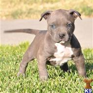 american pit bull puppy posted by Pitbulls for Sale
