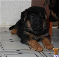 german shepherd puppy posted by PoeHillDanes