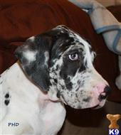 great dane puppy posted by PoeHillDanes