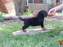 rottweiler puppy posted by Poppyrott1