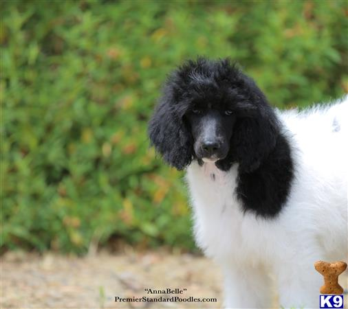 Poodle Puppy for Sale: AnnaBelle 11 Months old
