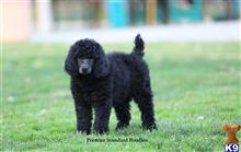 poodle puppy posted by PremierStandardPoodles