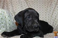 great dane puppy posted by Prime_Danes
