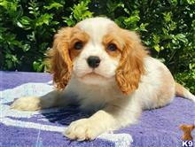 cavalier king charles spaniel puppy posted by Ps3387611