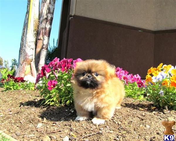 Pekingese Puppy for Sale: Adorable Pekingese puppy 10 weeks