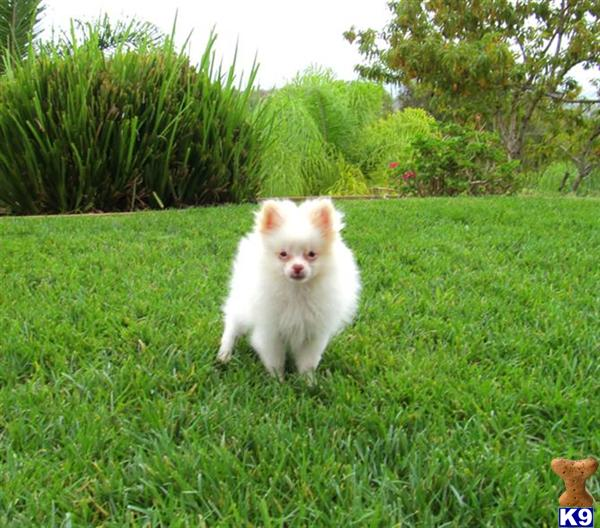 pomeranian san diego pomeranian puppy for sale male pomeranian pup in san 6743