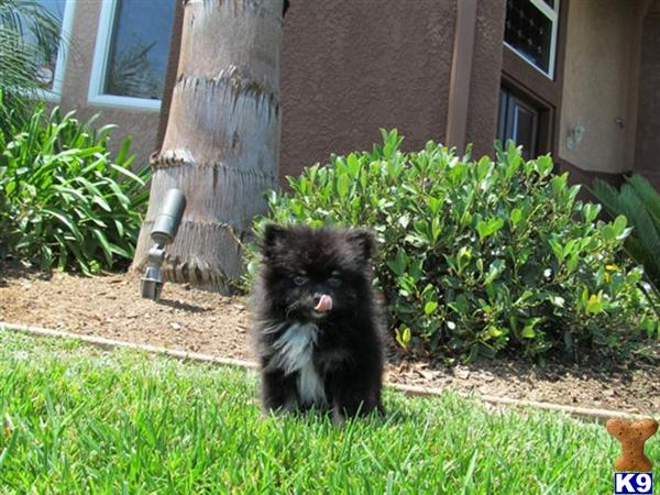 pomeranian san diego pomeranian puppy for sale teacup pomeranian in san diego 8378