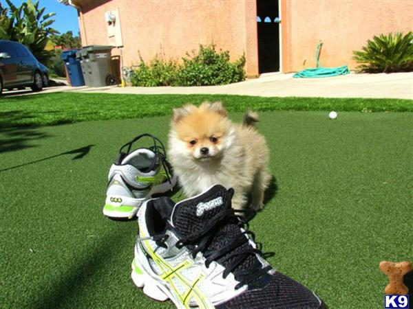 pomeranian san diego pomeranian puppy for sale akc pomeranian puppy in san 3319