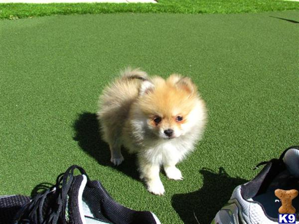 pomeranian puppies for sale in san diego pomeranian puppy for sale akc pomeranian puppy in san 3302