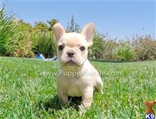 french bulldog puppy posted by PuppyAvenue