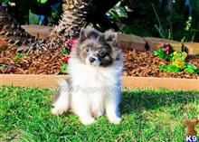 pomeranian puppy posted by PuppyAvenue
