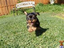 yorkshire terrier puppy posted by PuppyAvenue