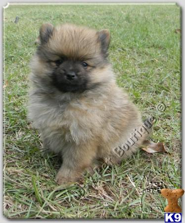 wolf sable pomeranian for sale pomeranian puppy for sale pomeranian tiny tea cup wolf 6420