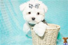 maltese puppy posted by PuppyHeaven1