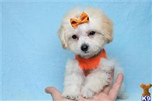maltipoo puppy posted by PuppyHeaven1