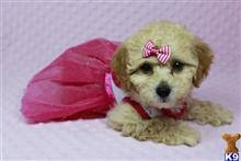 poodle puppy posted by PuppyHeaven1