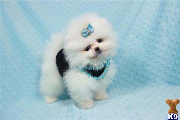 pomeranian puppy for sale  lamborghini 19 months old