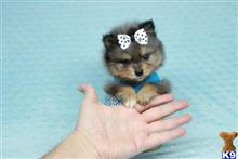 pomeranian puppy posted by PuppyHeavenLV