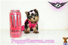 yorkshire terrier puppy posted by PuppyHeavenLV