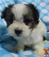 havanese puppy posted by Puppykisses