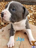 american pit bull puppy posted by Pups4saLL