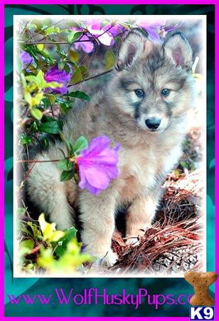 wolf dog puppy posted by PupsPlusPets