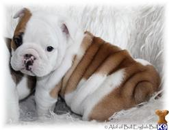 english bulldog puppy posted by PupsPlusPets