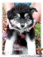 siberian husky puppy posted by PupsPlusPets