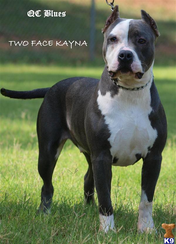 American Pit Bull Puppy for Sale: UKC ADBA Purple Ribbon
