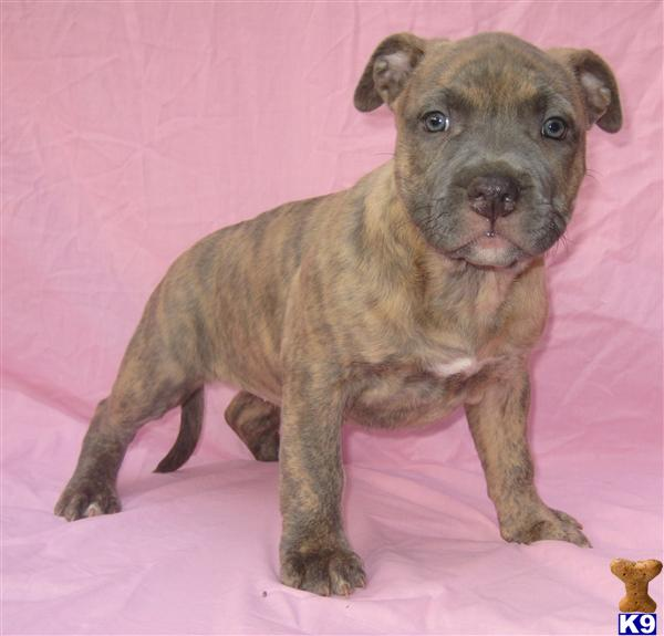 American Pit Bull Puppy For Sale Reverse Brindle Blue Nose Female