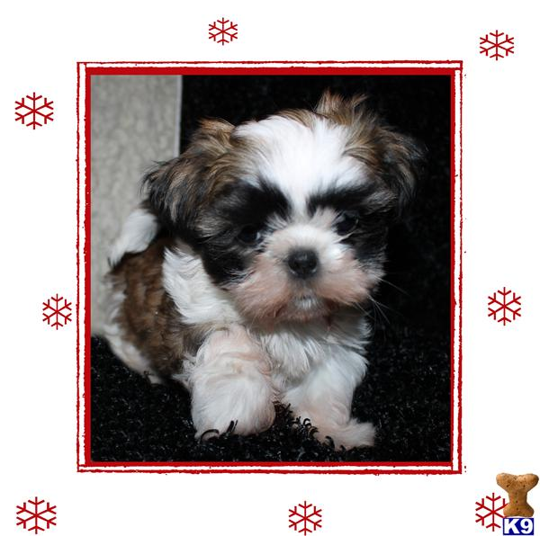 shih tzu breeders in md shih tzu puppies for adoption in maryland 9838