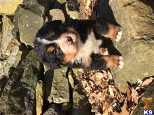 bernese mountain dog puppy posted by Quentin Troyer