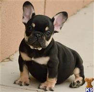 french bulldog puppy posted by ROMAN951