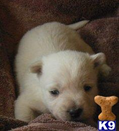 west highland white terrier puppy posted by ROSESUNIQUEBREEDS