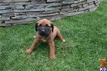 rhodesian ridgeback puppy posted by RRR123