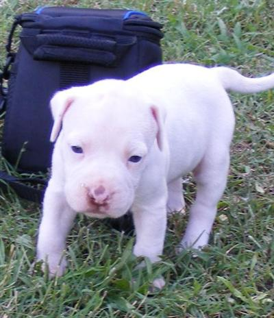 American Pit Bull Puppy For Sale Solid White Female Pit Bull