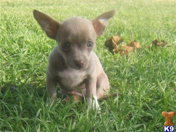 Chihuahua Puppy For H2 Blue Fawn
