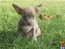 chihuahua puppy posted by Randbranch29073