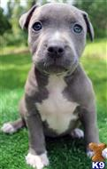 american pit bull puppy posted by Razzaaq