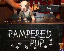 american pit bull puppy posted by Rebel4life