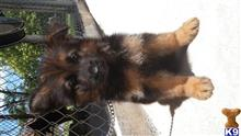 german shepherd puppy posted by RedlandGermanShepherds