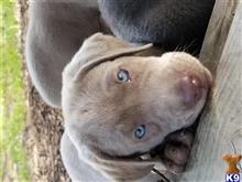 labrador retriever puppy posted by Regettap