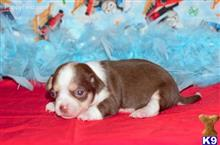 chihuahua puppy posted by Rhonda Wallace