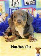 dachshund puppy posted by Rhonda Wallace