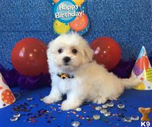 maltese puppy posted by Rhonda Wallace