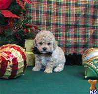 poodle puppy posted by Rhonda Wallace