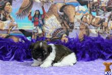 shih tzu puppy posted by Rhonda Wallace