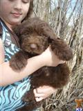 labradoodle puppy posted by Rick Swenson