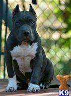 american staffordshire terrier puppy posted by Rob27