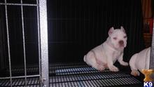 american pit bull puppy posted by Rocka Bully Camp
